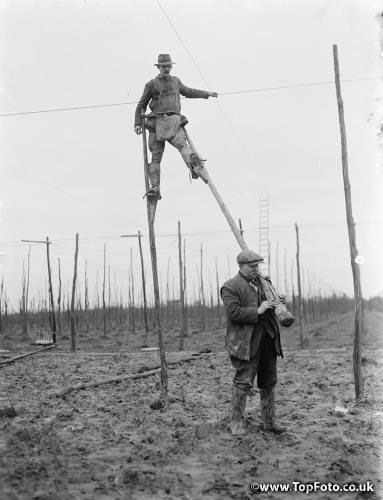 A man uses stilts for the stringing of the hop poles . 1937